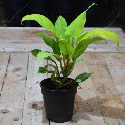Send Philodendron Ceylon Golden Plant Online In India At Indiagift In