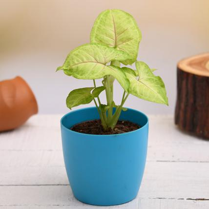 Syngonium Plant in a Colorful Pot