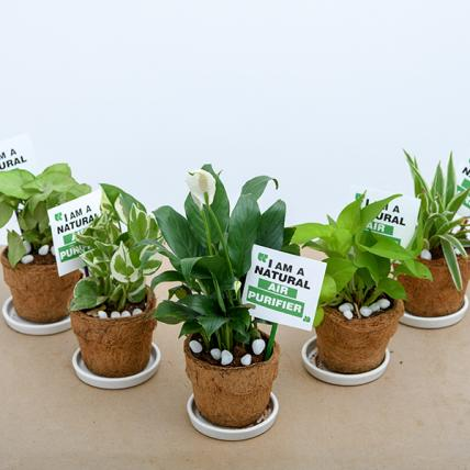 Indoor Air Purifying Plants in Eco friendly Coir Pot - Gift Pack