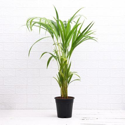 Areca Palm - Plant