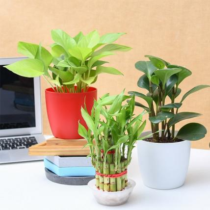 Table Top / Office Desk Plants For Gift