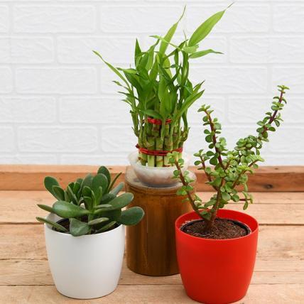 Best 3 Table top / Office Desk Plants to Bring Prosperity