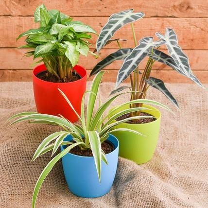 Cubicle-Friendly Table Top / Office Desk Indoor Plants