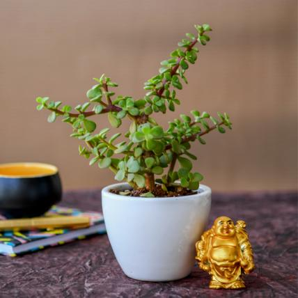 Wealth Boomer Jade Plant with Laughing Buddha