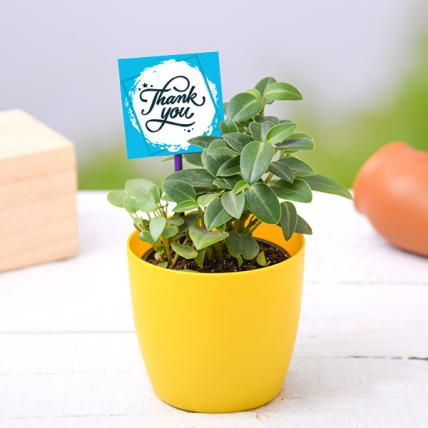 Say thank you with Peperomia
