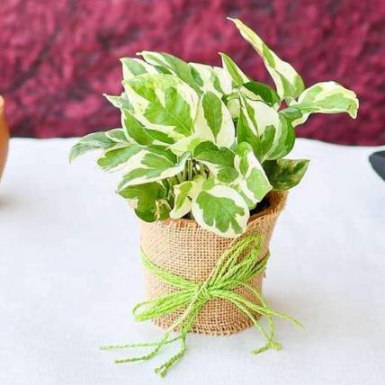 Good Luck Money Plant with a Jute wrap