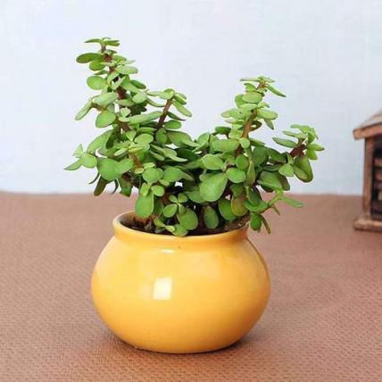 Symbol of Friendship Jade Plant in Handi Pot