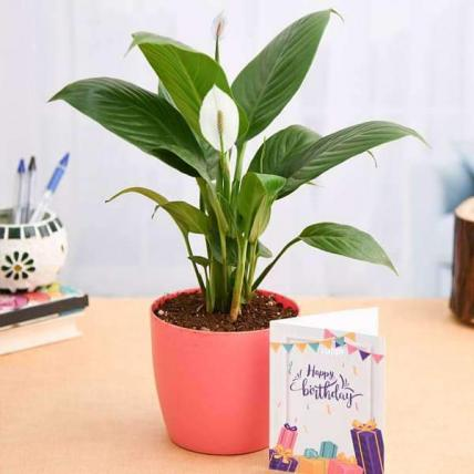 Birthday Wishes with Peace Lily Plant