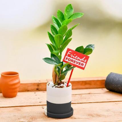 Best ZZ plant in Ceramic Pot for Best Friend Forever