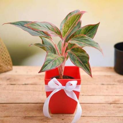 Celebrate Anniversary with Aglaonema Plant