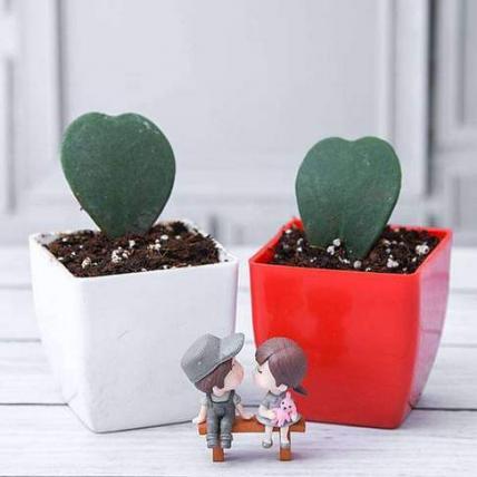 Sweetheart Hoya Plants with Cute Couple